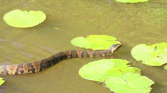 snake swimming in the river