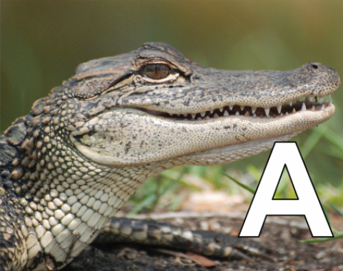A is for alligators