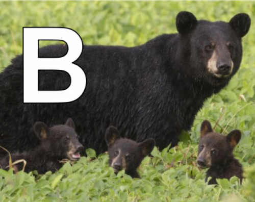 B is for black bears