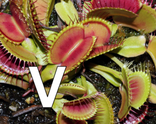 V is for Venus Flytraps