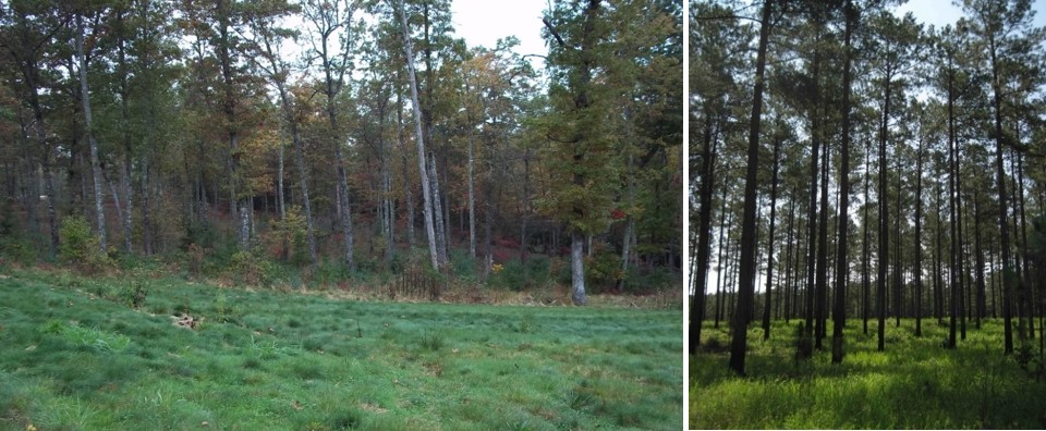 open area (left) and long leaf pine savannah (right)