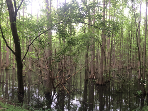 healthy cypress trees