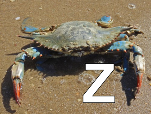 Z is for Zoeas