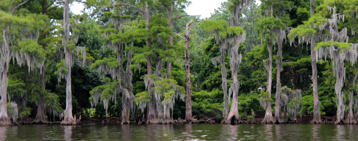 cypress trees with spanish moss