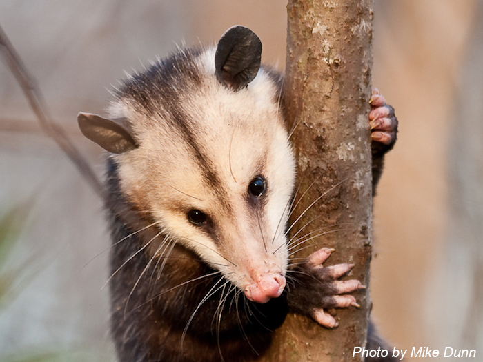 photo of a opossum in a tree by Mike Dunn