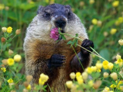 photo of a groundhog in a field of yellow flowers holding a purple flower