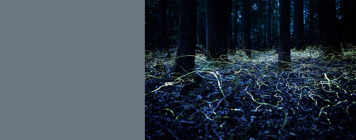 """•Slow-caption photo of the blue ghost fireflies during our """"In Search of the Blue Ghosts"""" tour at the Cradle of Forestry"""