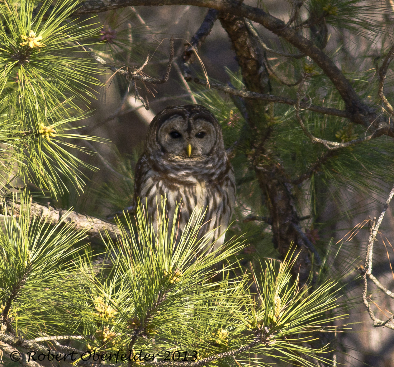 three species of north carolina owls