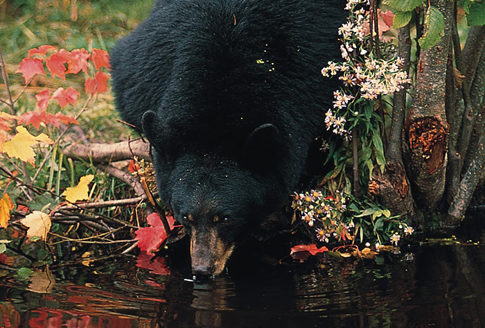 black bear drinks from a woodland stream