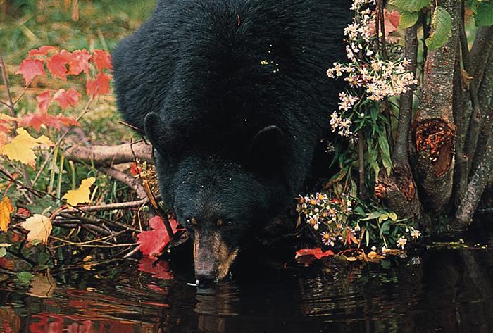 black bear drinks from a woodland stream