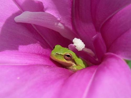 Tiny green frog in large pink flower