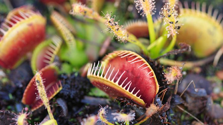 venus flytraps with mouths agape