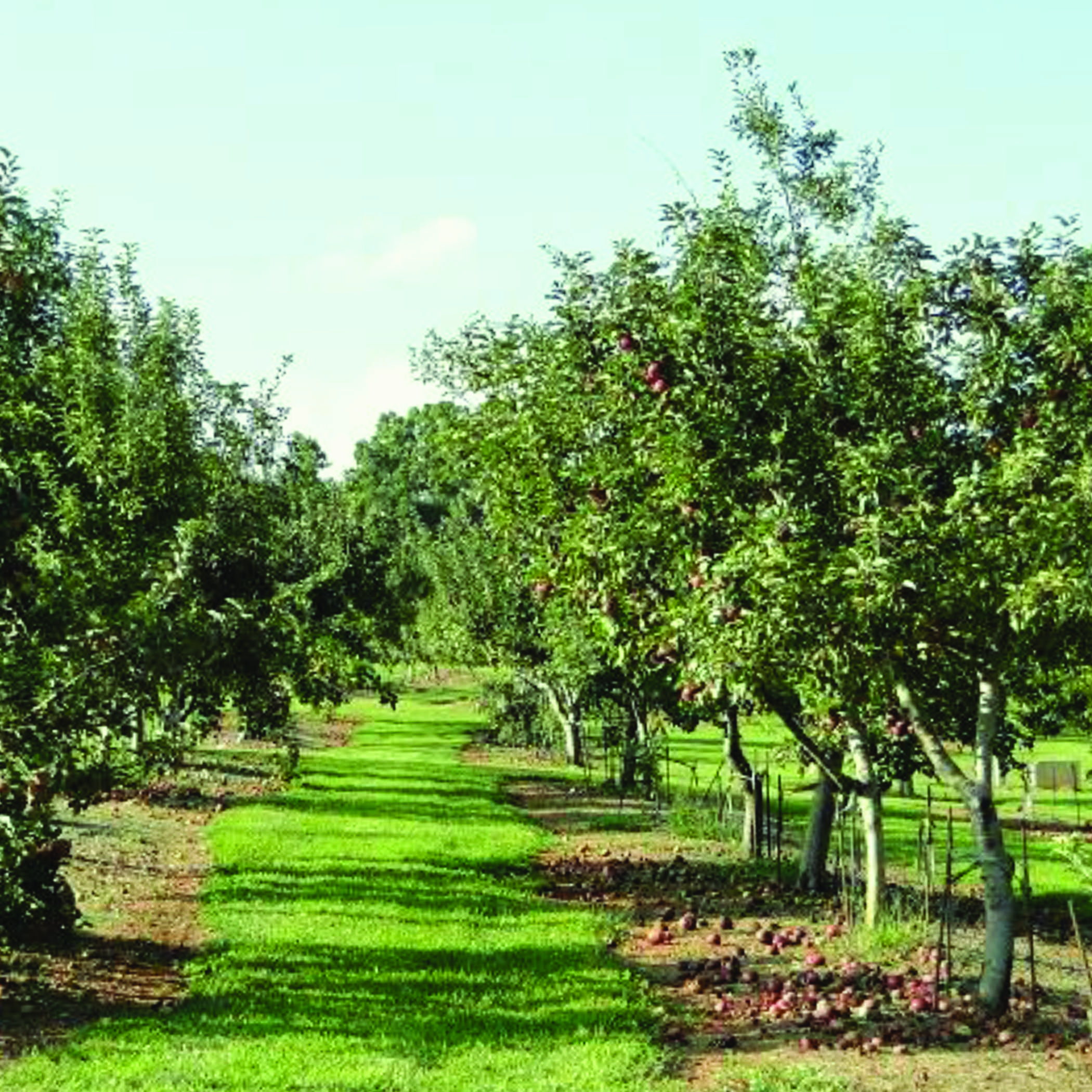 Apple orchard with ripe red apples on the trees