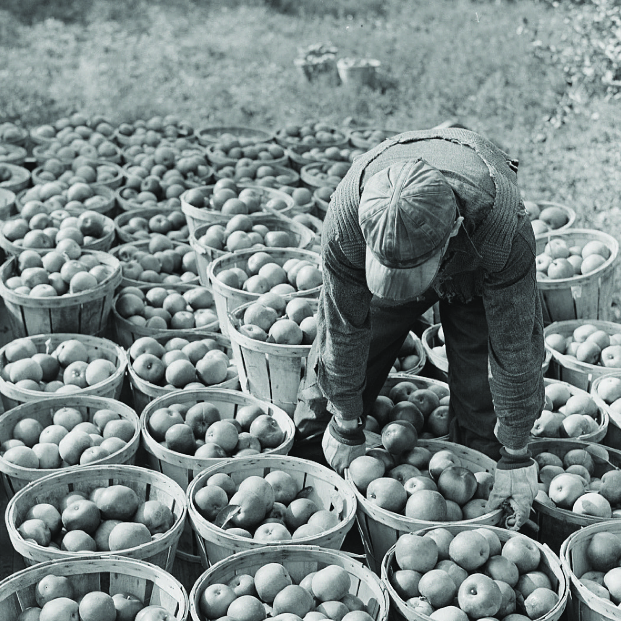 black and white image from the 1930s depicting a man sorting bushel baskets full of apples
