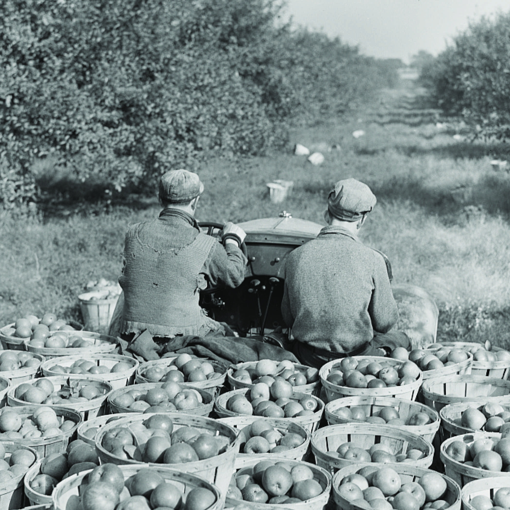 black and white photo from the 1930s of two farmers driving a tractor with a trailer loaded with bushel baskets of apples down a row in an apple orchard