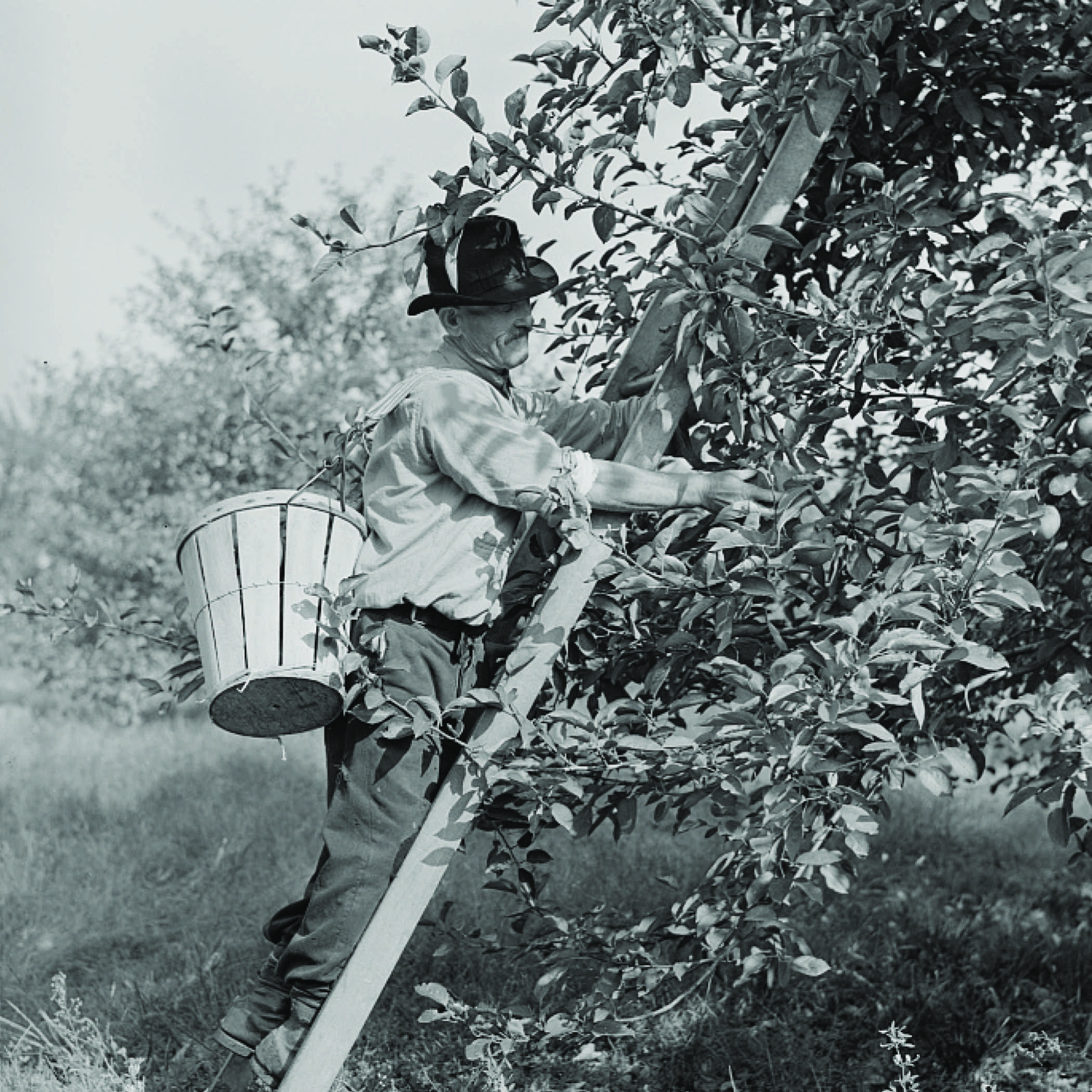 black and white photo from the 1930s of a farmer picking apples. He is on a ladder that is leaning against a tree and he has a bushel basket strapped to his back.