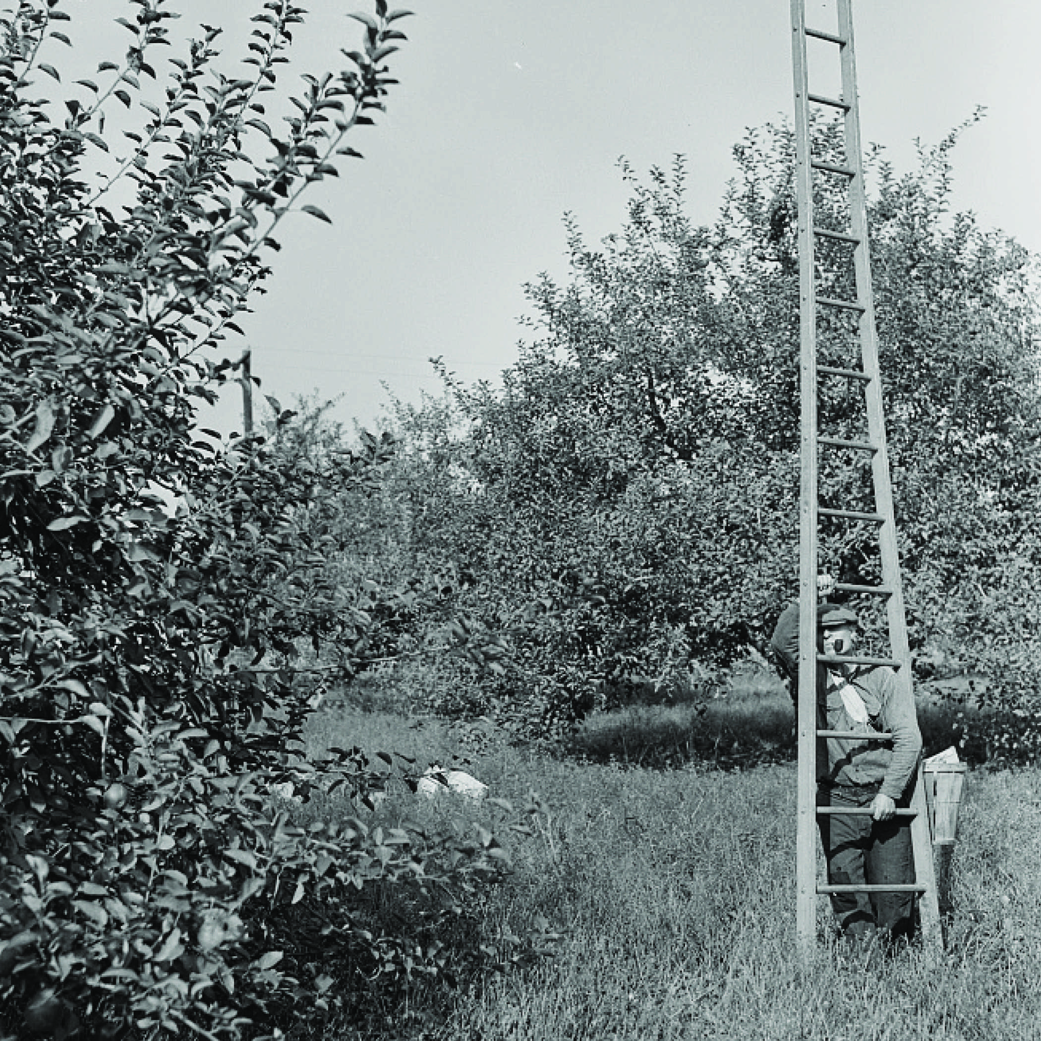 antique photograph of a farmer in an apple orchard holding a ladder upright