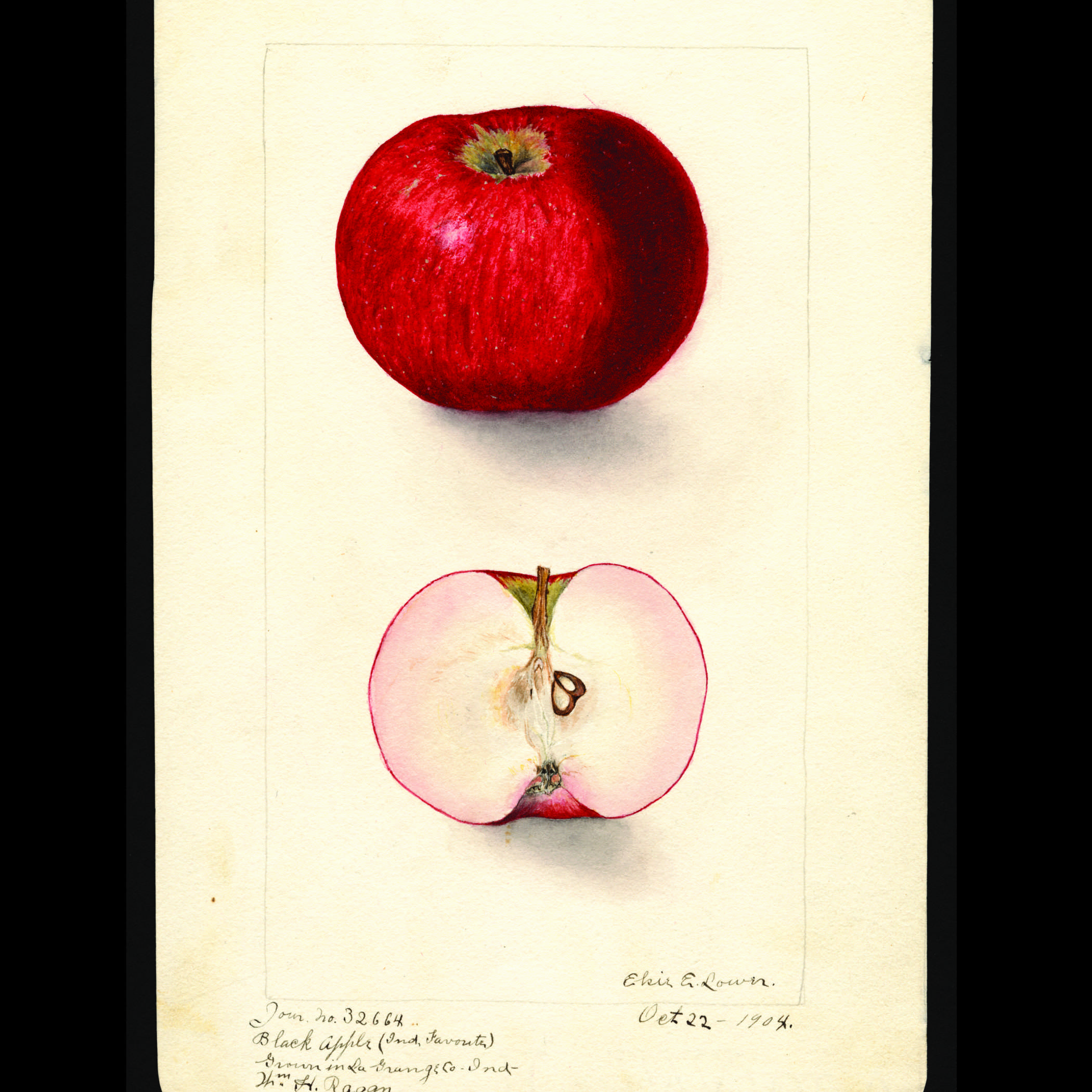 watercolor of a red apple in two views - top painting shows the outside of the apple, bottom painting shows the apple sliced in half exposing the flesh