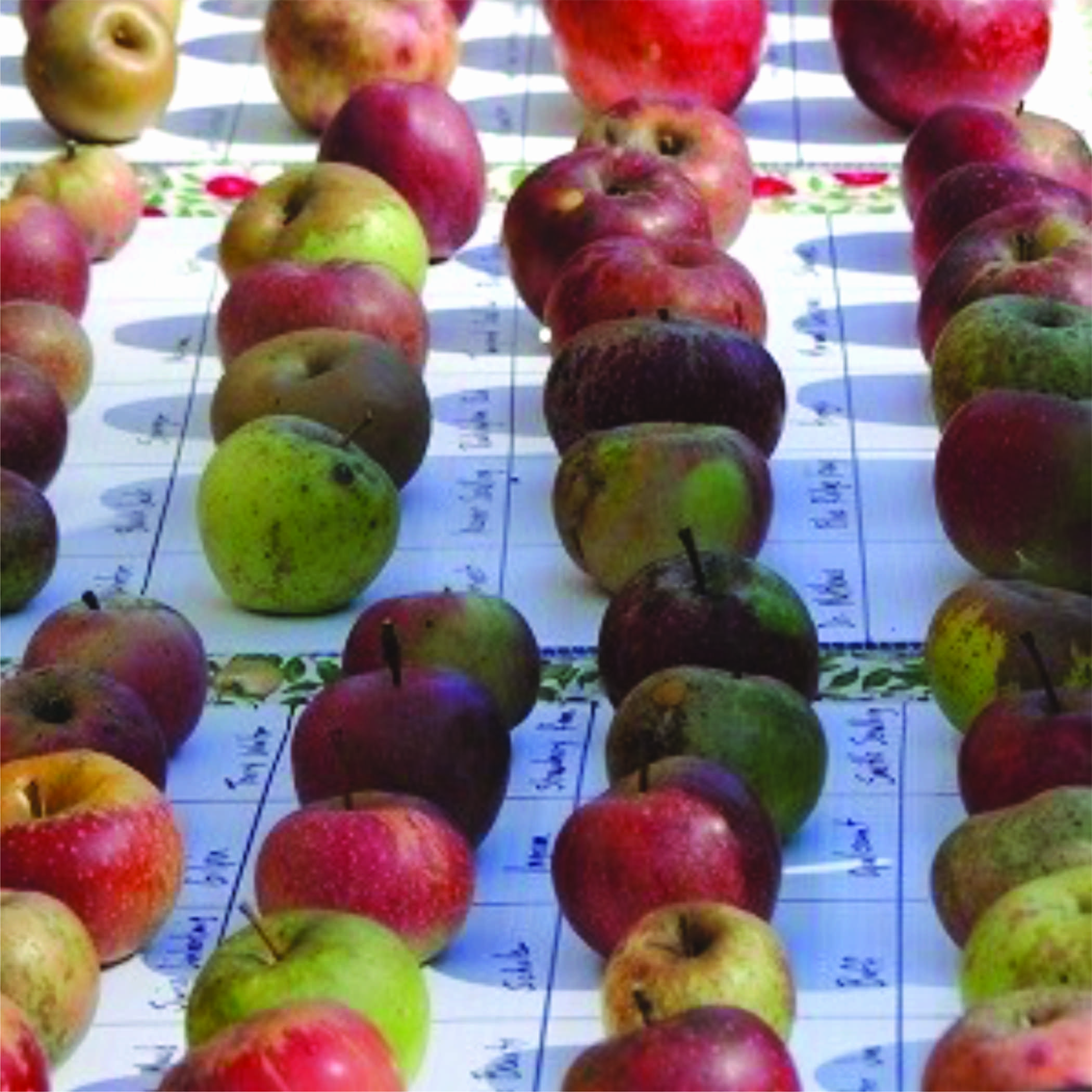 rows of yellow and red apples
