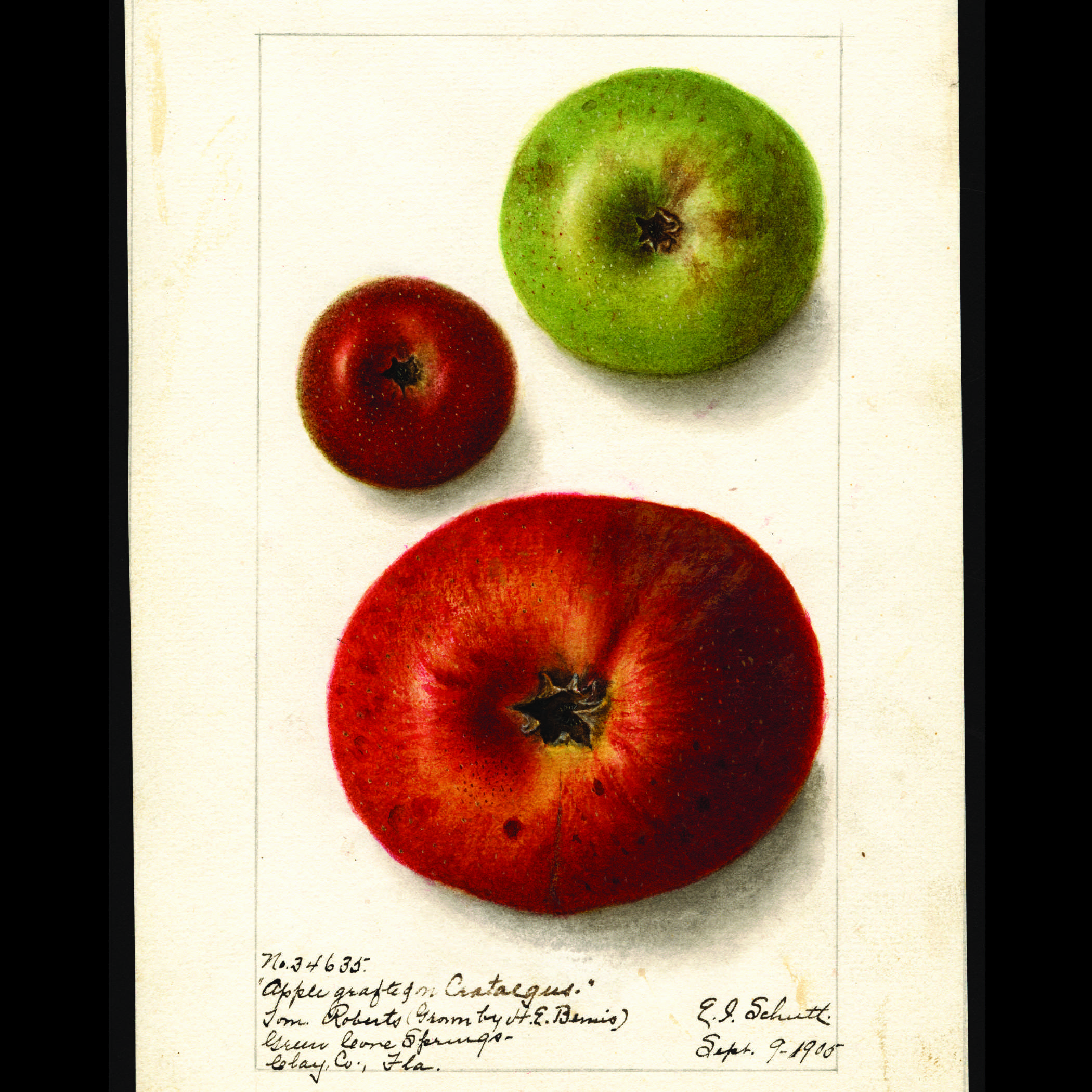 watercolor with three apples. a medium sized green apple, a small dark red apple, and a large red apple