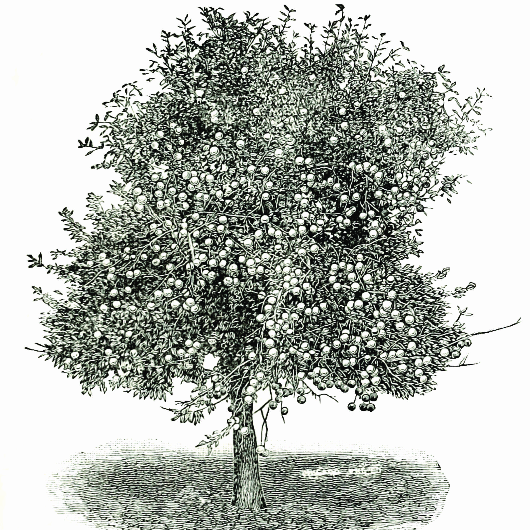 black and white drawing of an apple tree