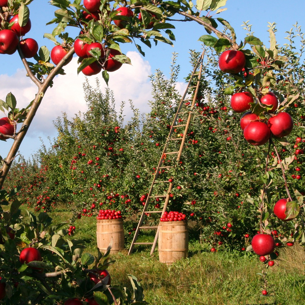 an apple orchard with many red apples on the trees