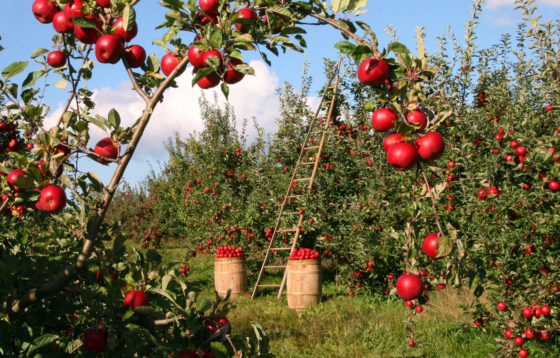 an apple orchard with red apples in the trees and in barrels beneath the trees