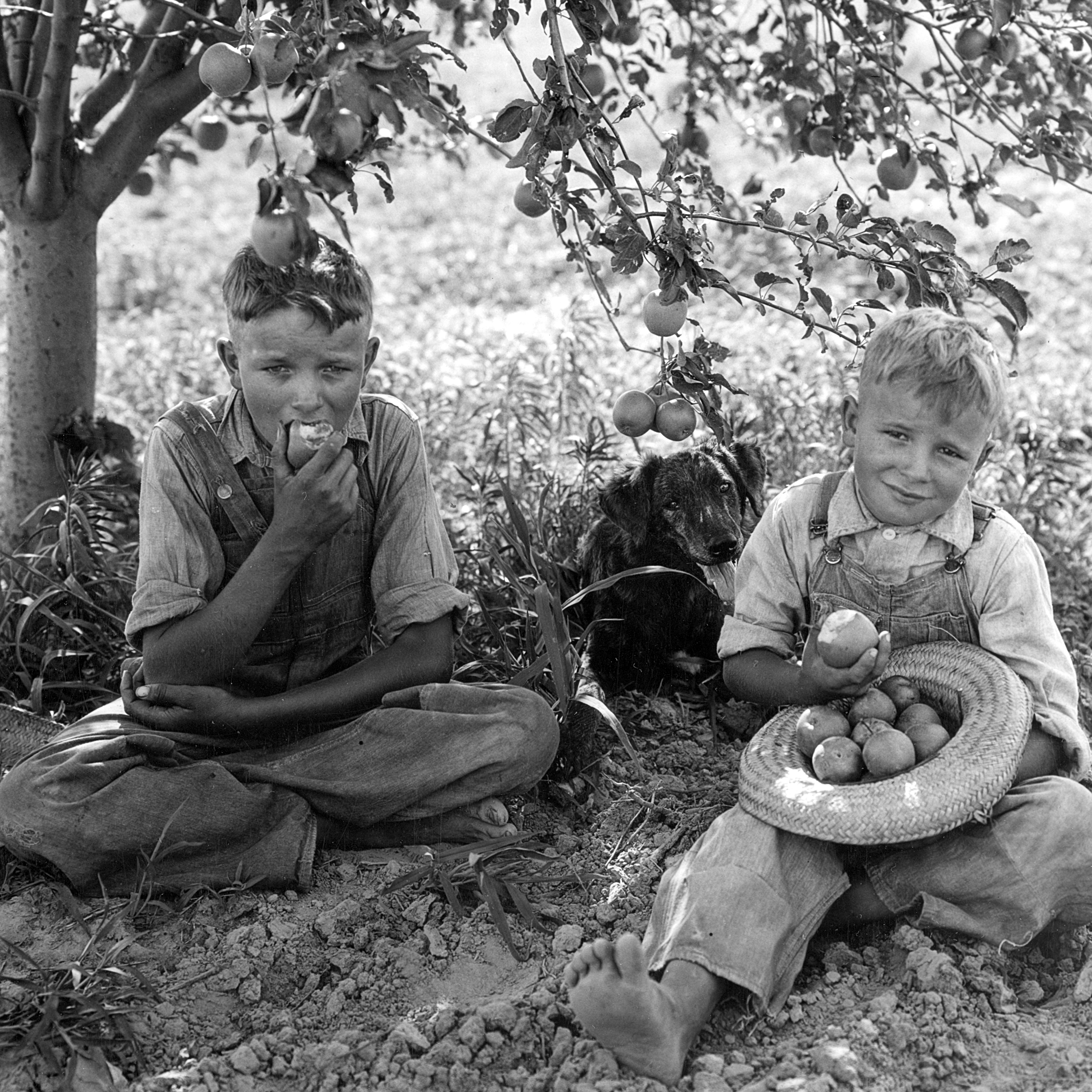 vintage photograph of two young boys sitting under an apple tree. one is holding an apple in his mouth and the other has a straw hat filled with apples with another in his hand