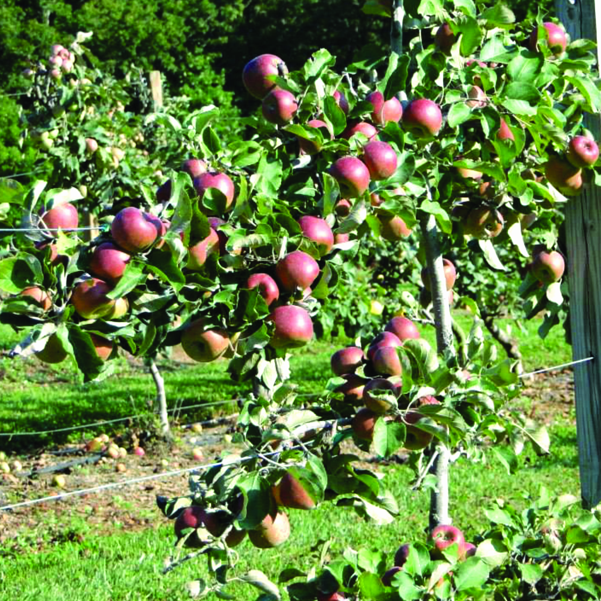 An espaliered apple tree filled with ripe red apples