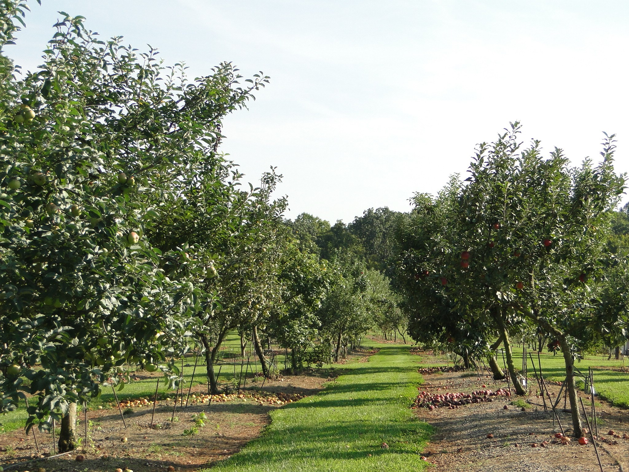 two rows of apple trees in an orchard. There are apples in the trees and on the ground