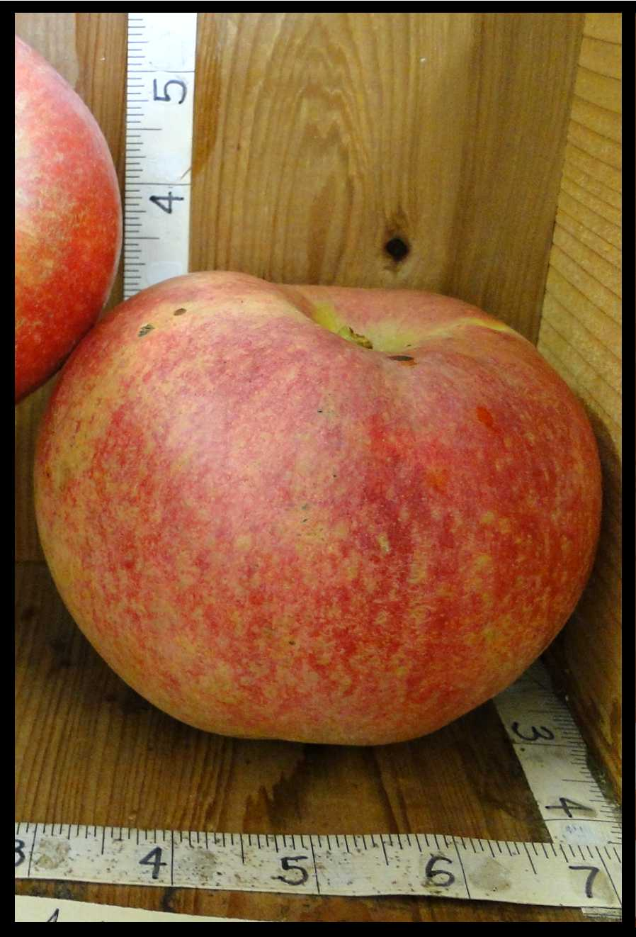 yellow apple with widespread splotchy red