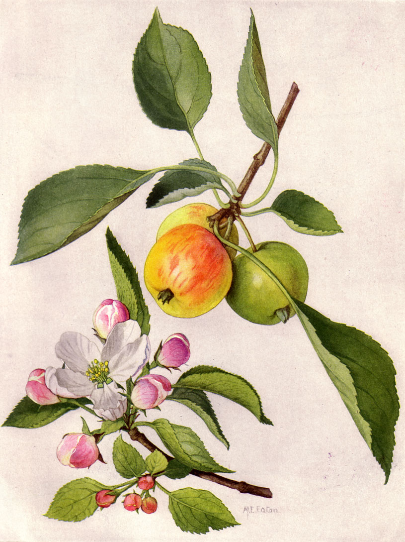painting of three apples on a branch. one is yellow with red blush, one is yellow and one is still green. Also depicted are pink apple blossoms