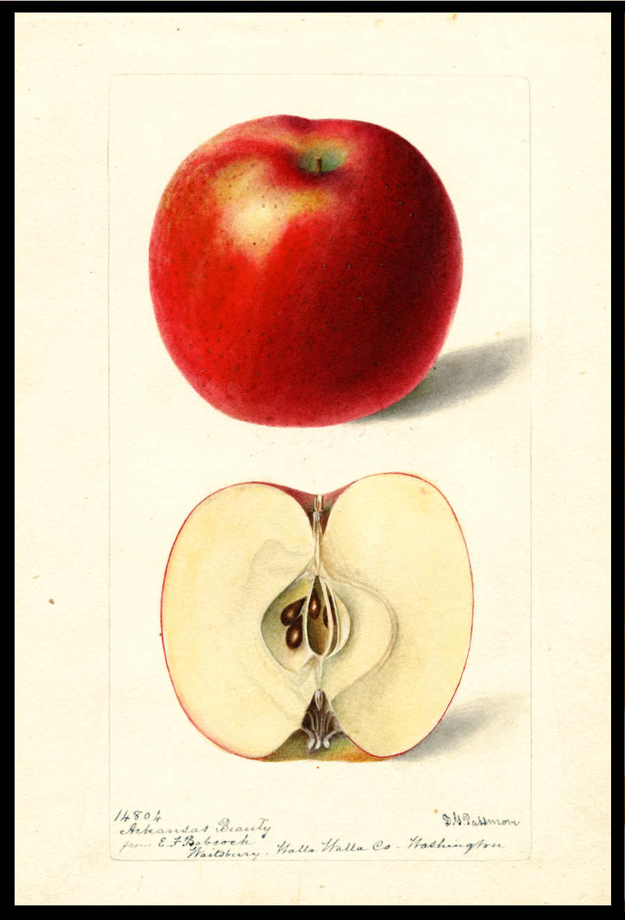 watercolor of an apple that appears almost entirely red