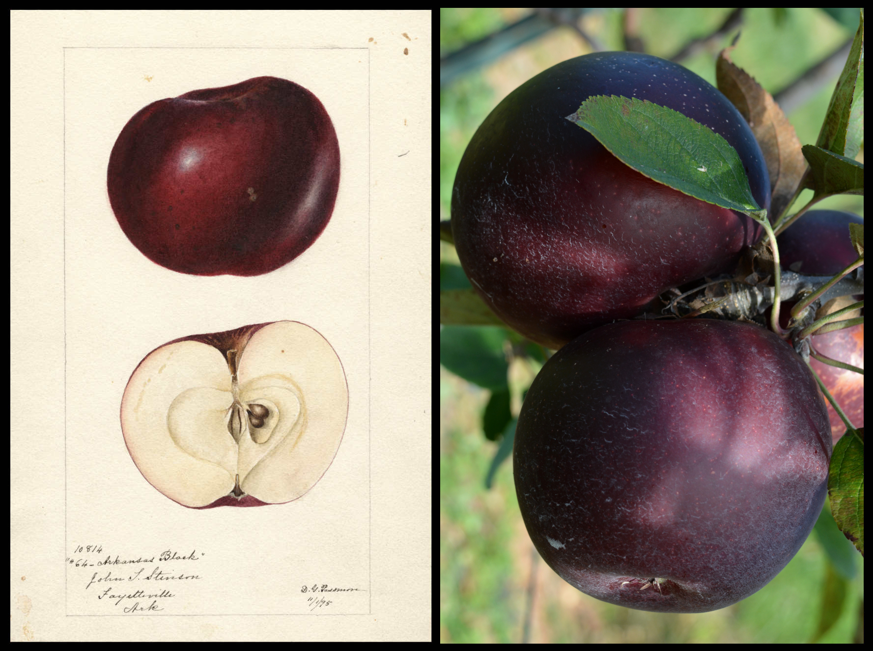 a very dark red apple that appears to be purple or almost black