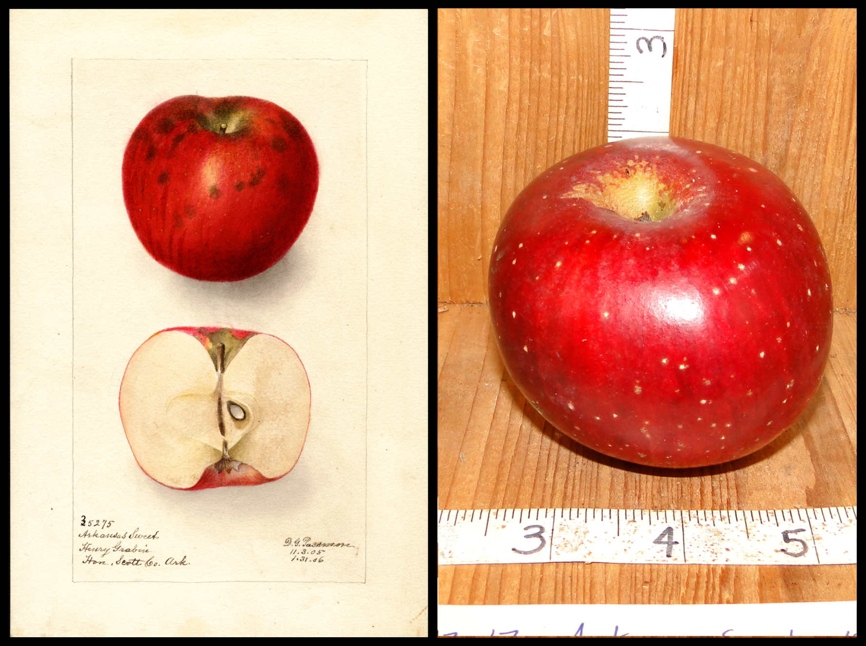 a mottled red and dark red apple with prominent white dots
