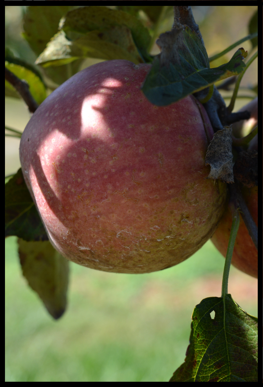 a pink apple with yellowish spots