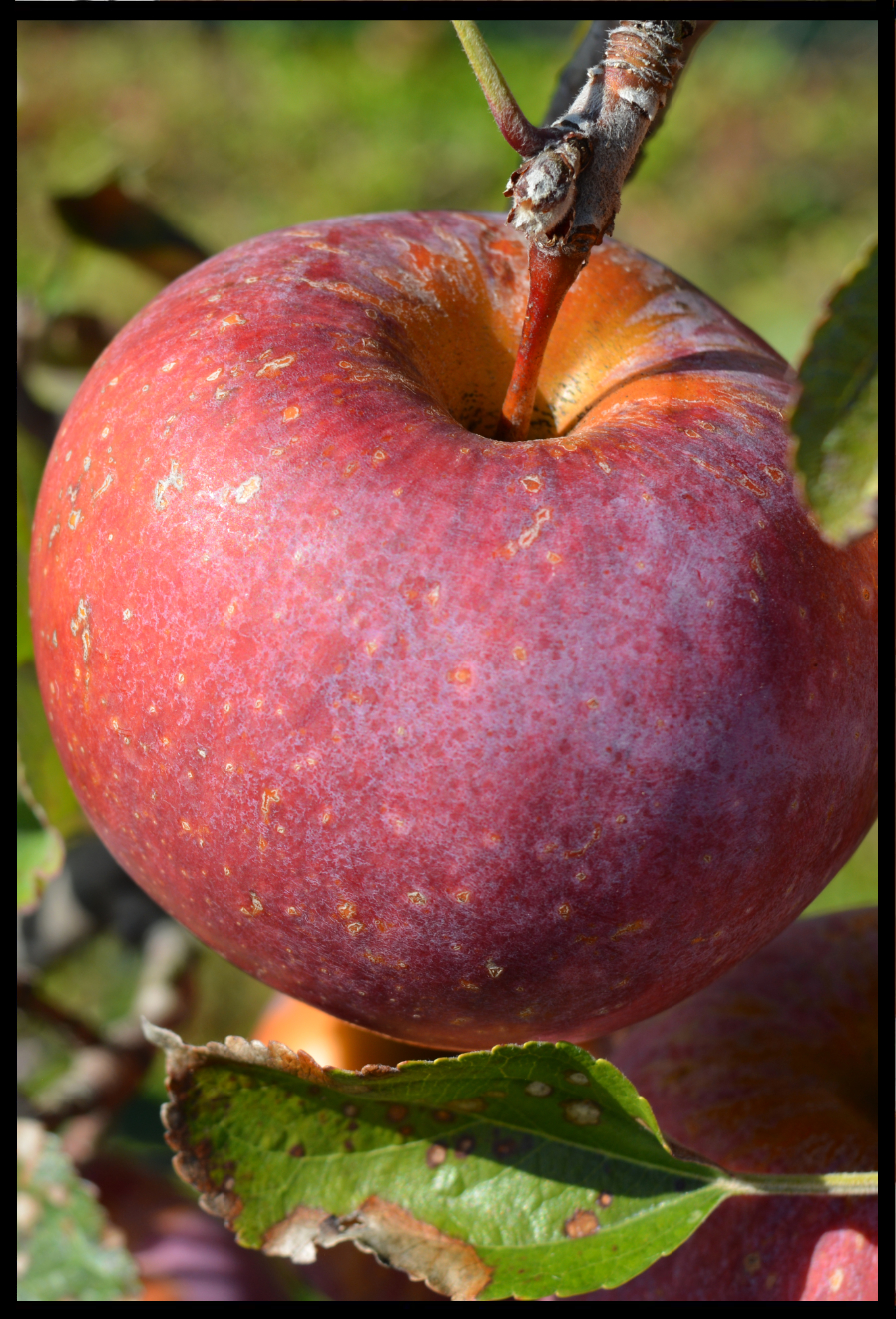 red apple with darker red stripes and yellow spots and a white haze over the skin
