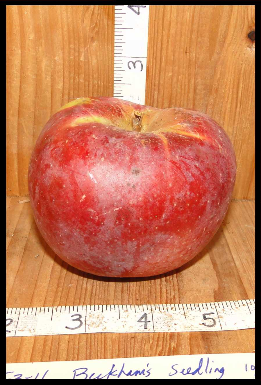 squat red apple with yellow streaks and a white haze over the skin