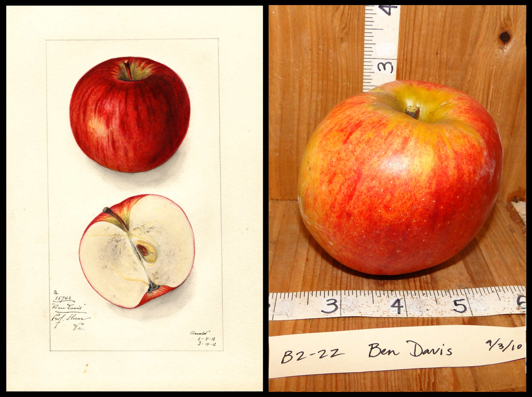 mottled red and yellow apple