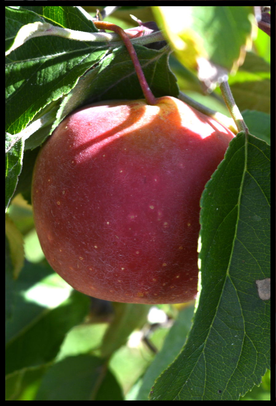 light red apple with small white spots and a little yellow near the stem