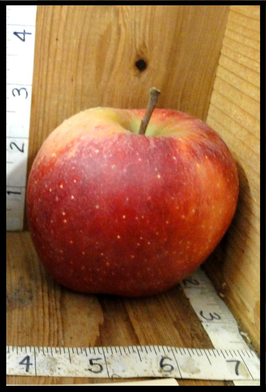 yellow apple almost entirely covered with mottled red blush and small white spots