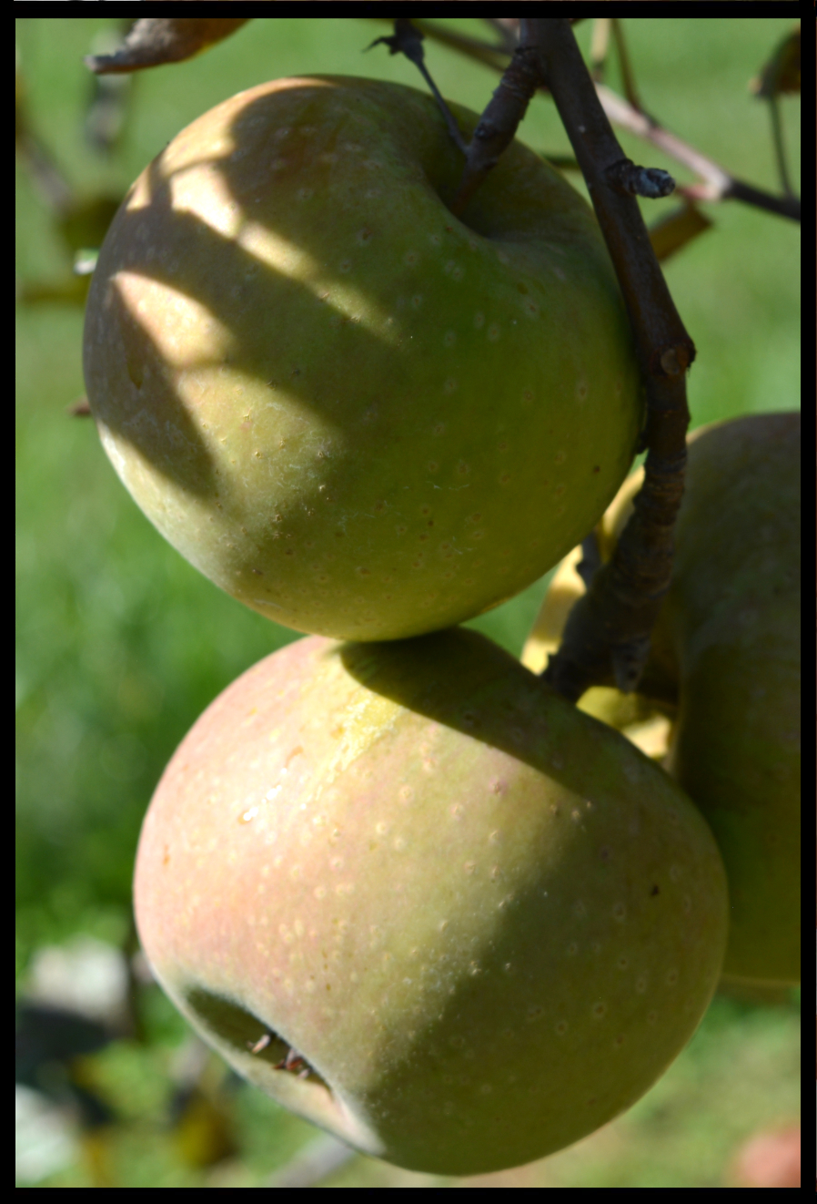 apple with dull green skin and a very slight pink blush