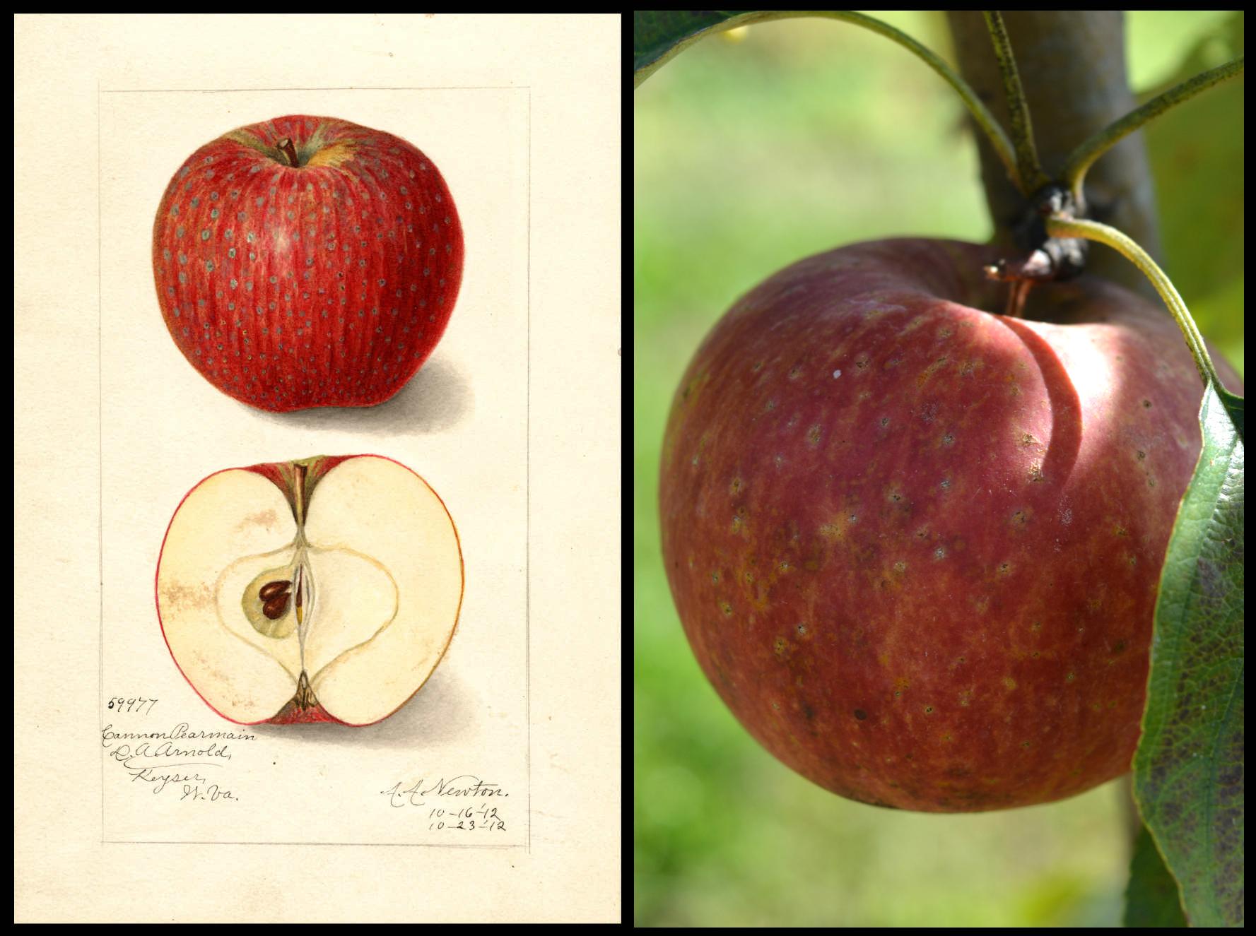 mottled dark and light red apple with lighter spots