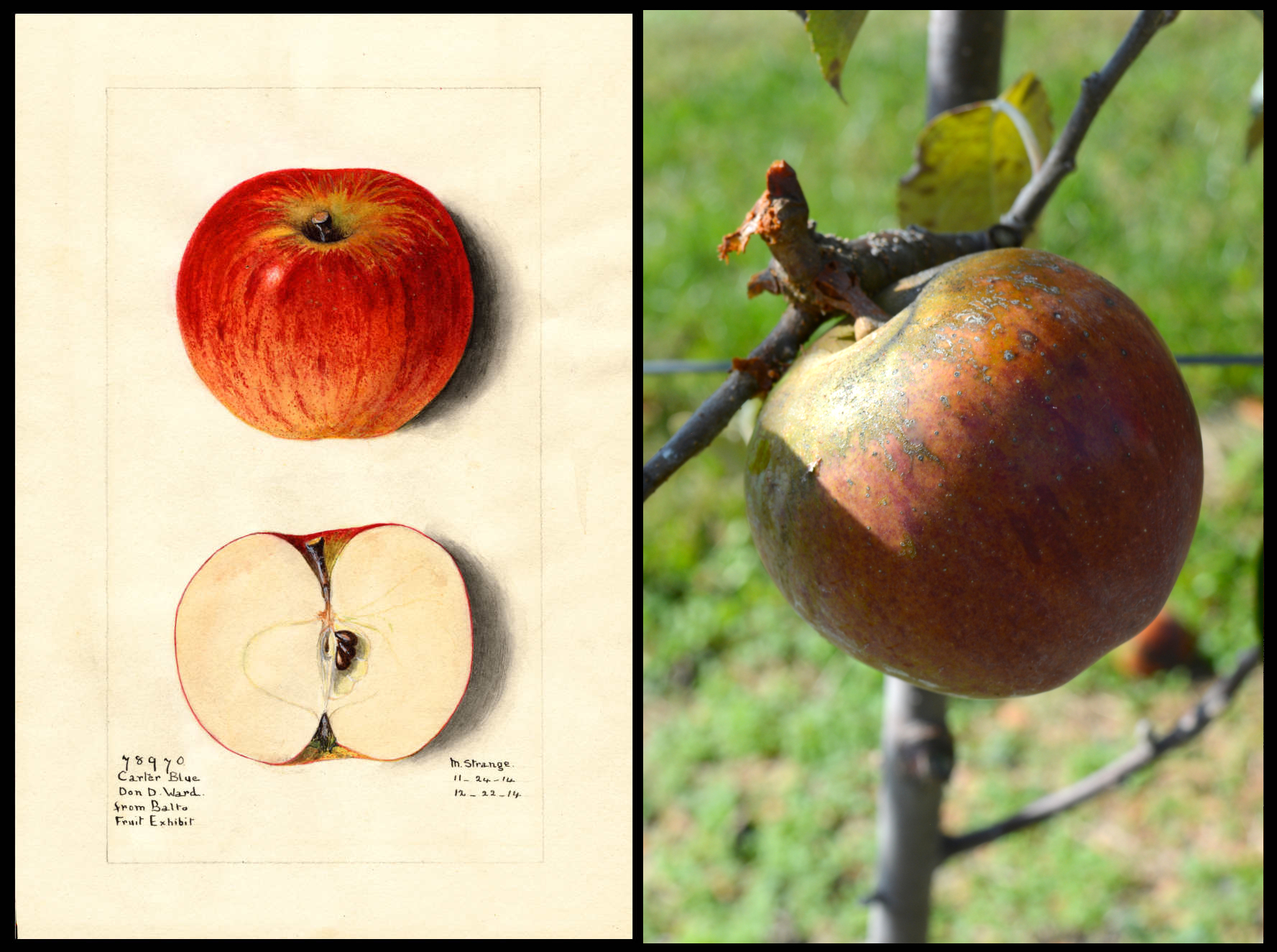 orange apple with red stripes and rough yellow skin at stem
