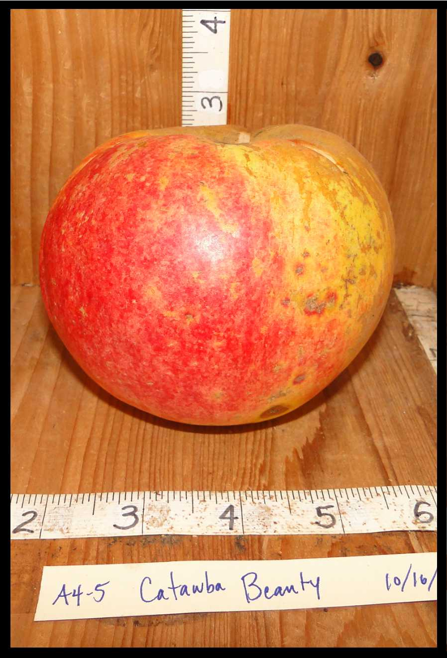 apple mottled red, yellow, and rough tan