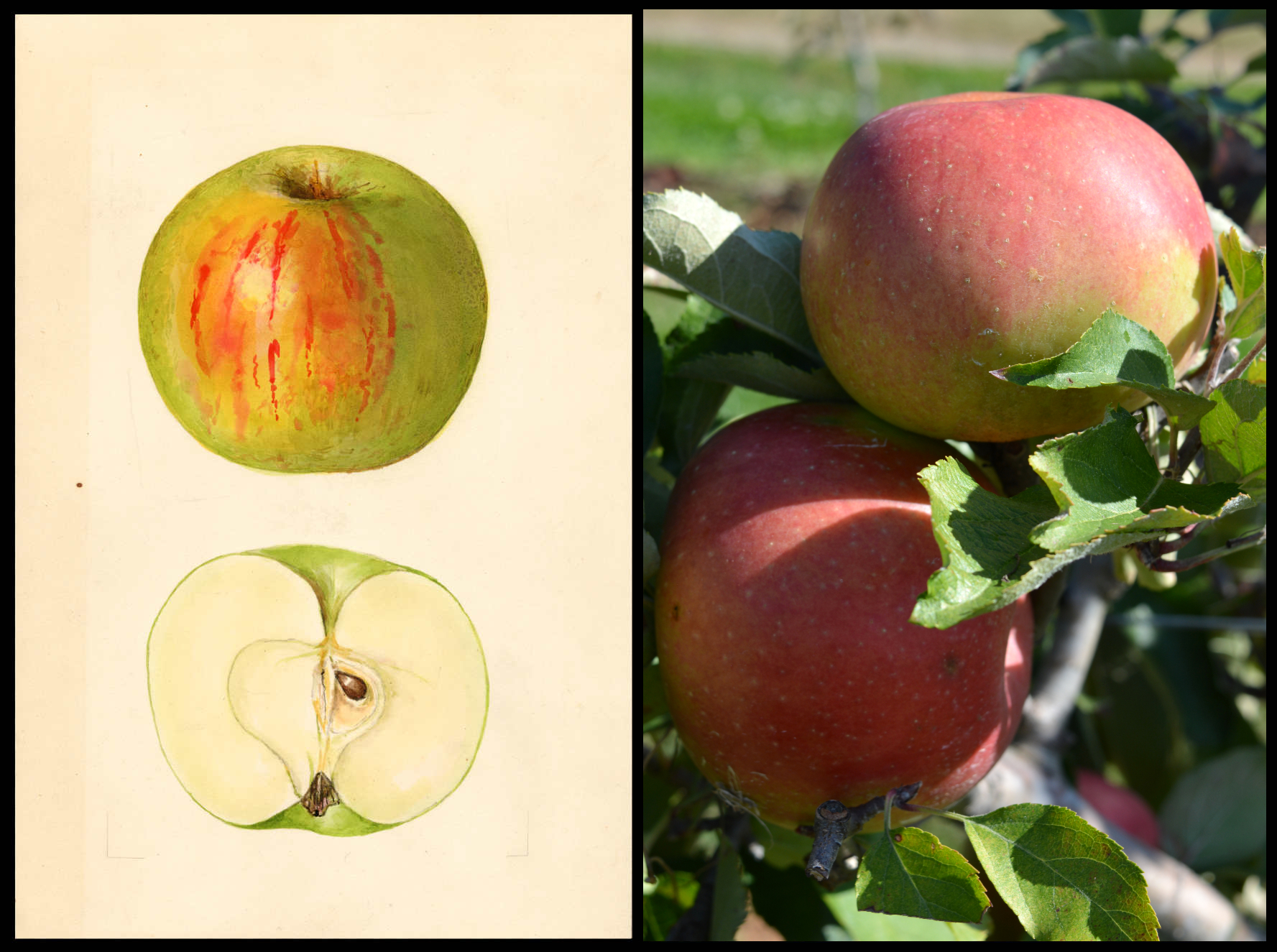 green apple with pink blush