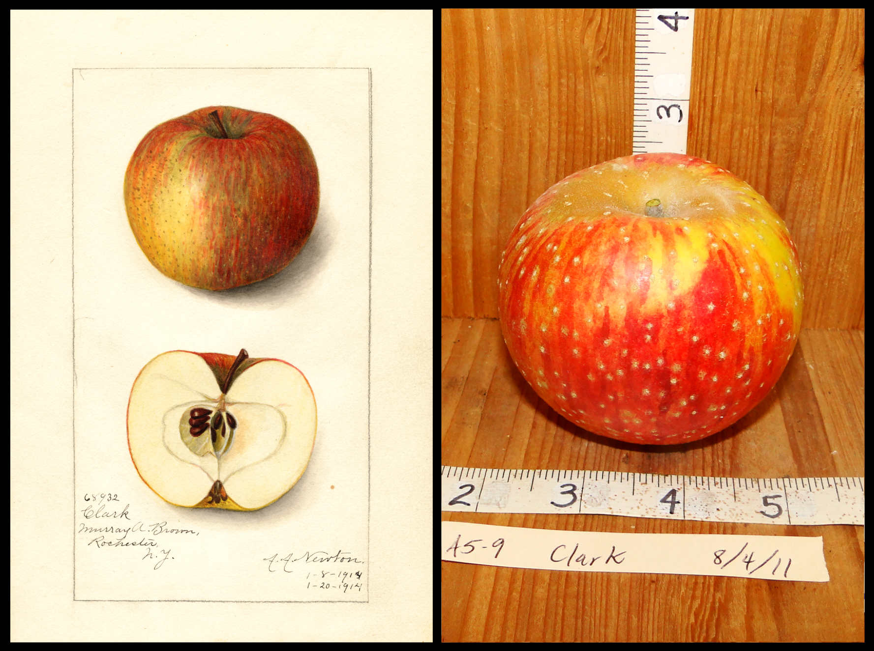 red and yellow striped apple with prominent white spots