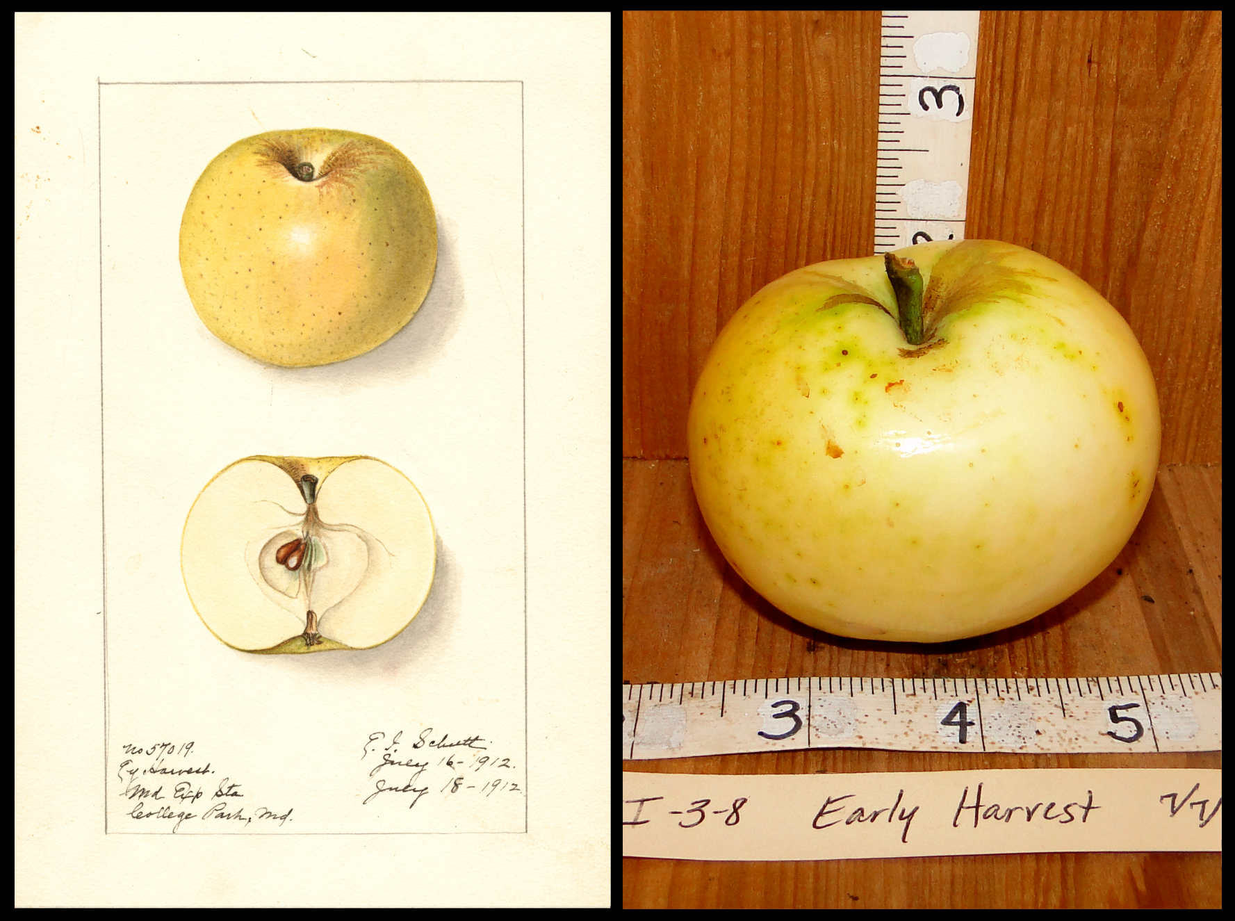 small yellowish white apple
