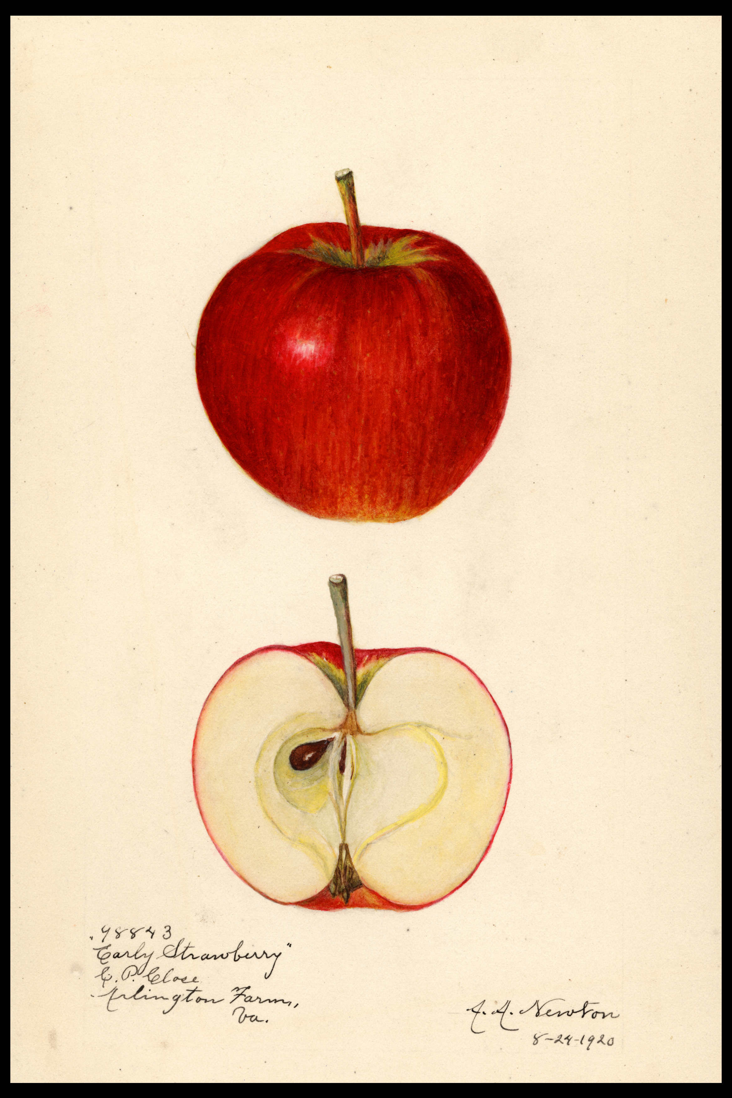 watercolor of a red apple with darker red striping
