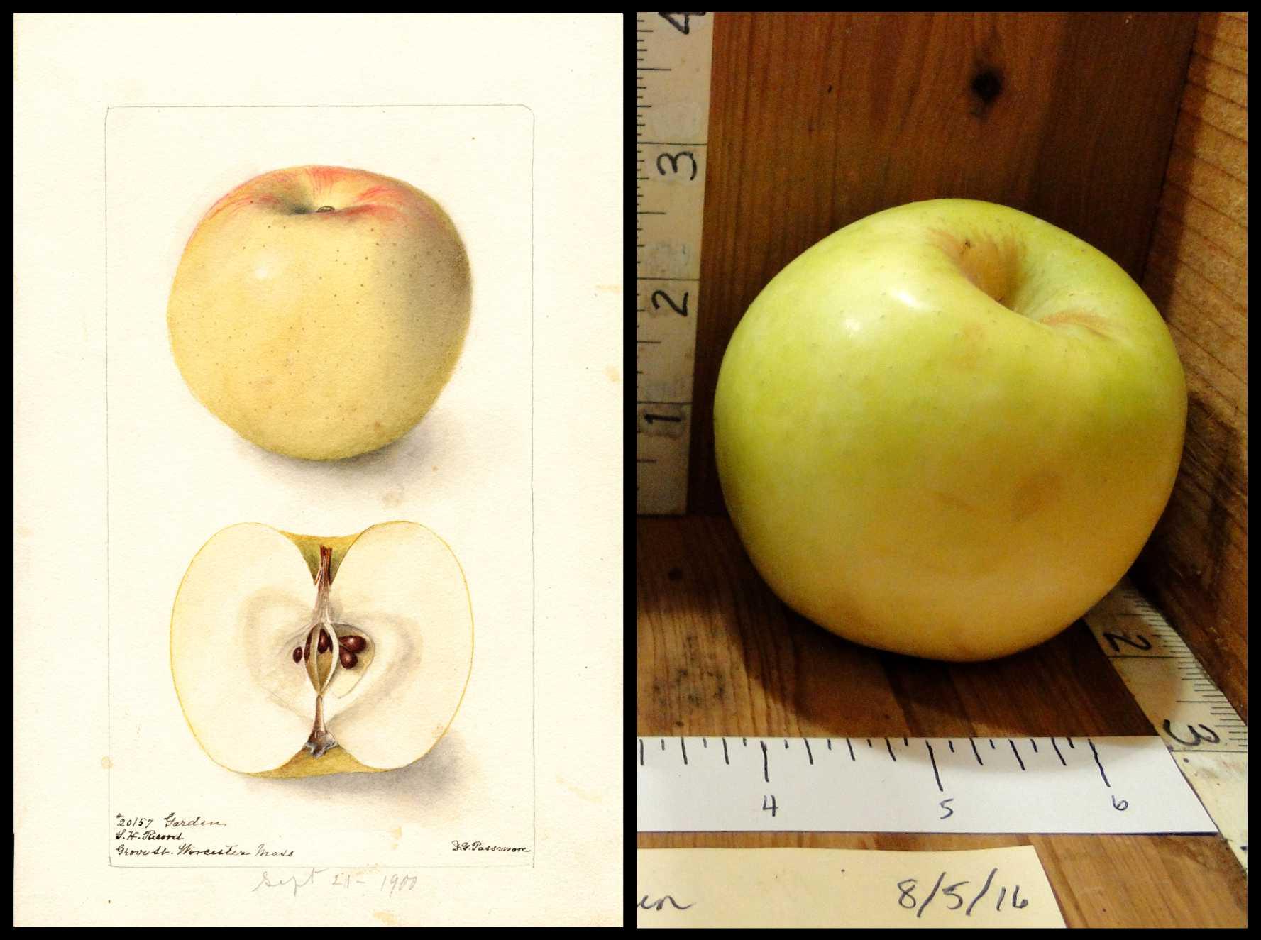 light greenish yellow apple